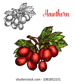 Hawthorn fruit sketch of whitethorn tree branch. Ripe hawberry branch with red berry and green leaf isolated icon for herbal medicine, natural tea and jam ingredient design