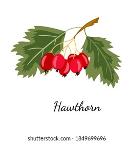 Hawthorn illustration, isolated on white. Whitethorn berry branch sketch. Haw hand drawn vector. Hawthorn berry, leaves, detailed hand drawn vegetarian food. Design template.