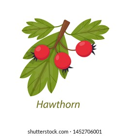 Hawthorn plant with leaves, berries white isolated. Use in medicine, pharmaceutics, cosmetology, cosmetics, health care vector