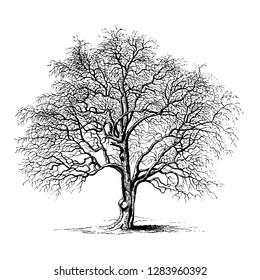 Hawthorn Tree Vintage Illustrations