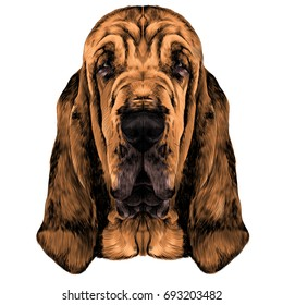 the head of the dog breed Bloodhound vector graphics colored sketch