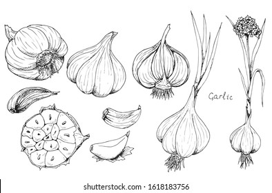Head of garlic. Traditional medicine. Herb. Whole plant, fresh root, cut in half, slices, parts, peel, flower. Spicy condiment. Isolated clipart set on white background. Hand-drawn ink sketch.
