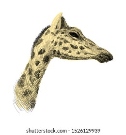 The head of a giraffe sketch colorful vector graphics drawing. African wildlife doodle illustration, Profile portrait of a giraffe.