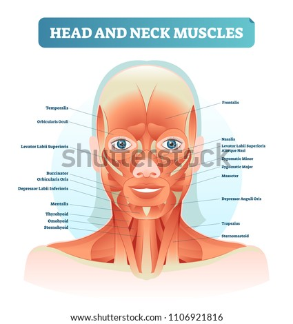 head neck muscles labeled anatomical diagram stock vector royalty rh shutterstock com diagram of neck and shoulder muscles diagram of neck muscles and tendons