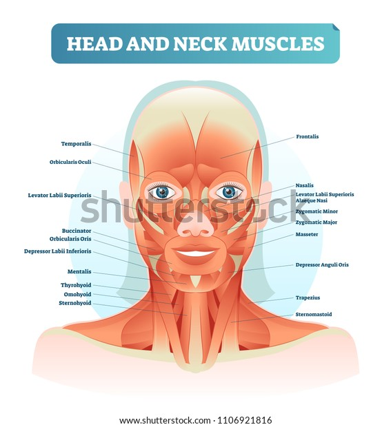 Head Neck Muscles Labeled Anatomical Diagram Stock Vector