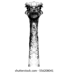 head ostrich on a long neck vector sketch