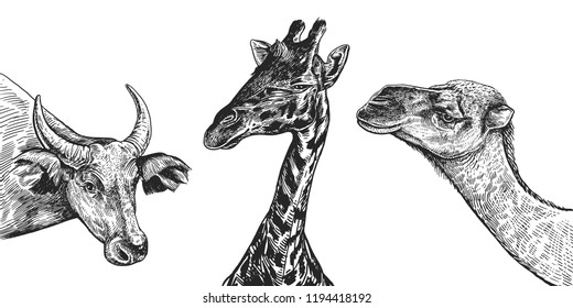 Heads of camel,cow and giraffe set. Realistic portraits of African animal. Vintage engraving. Vector illustration art. Black and white hand drawing. Funny facial expressions of Wildlife Animal.
