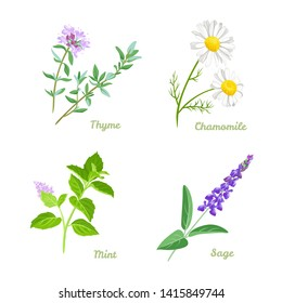 Healing herbs vector illustration set. Thyme, Sage, Chamomile and Peppermint. Medical plants collection in cartoon simple flat style.