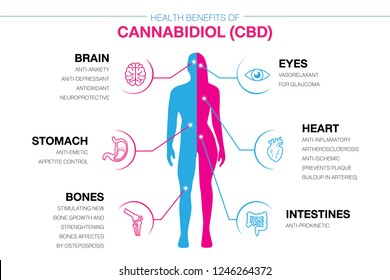 Health benefits of Cannabidiol CBD from cannabis, hemp, marijuana effect on human body. vector infographic on white background.easy to used.