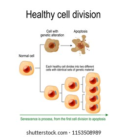 Healthy cell division. Each healthy cell divides into two different cells with identical sets of genetic material. Senescence is process from the first cell division to apoptosis. Vector diagram