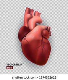 Healthy human heart isolated on transparent background. Health and medicine, organ, muscle, the main organ of man, love, life. 3D illustration. Vector EPS10