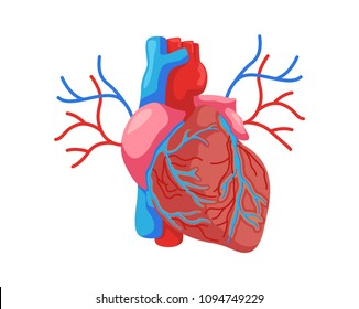 Healthy Internal Human Heart Organ Illustration
