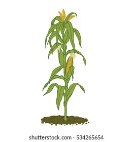 Healthy mature corn plant with plenty of leafs and cobs ready for harvest - zea mais, maize, colored line hand drawing, isolated icon, vector illustration, agriculture, farm, cereal grain, field crop
