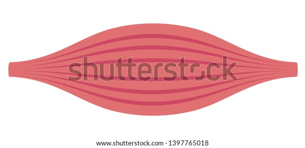 Healthy muscle flat illustration . section of muscle.