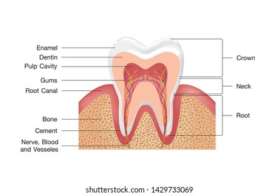 Healthy white tooth, gums and bone illustration, detailed anatomy. Tooth anatomy infographics. Realistic White Tooth Mockup. Oral Care health Concept. Medical banner or poster Vector illustration