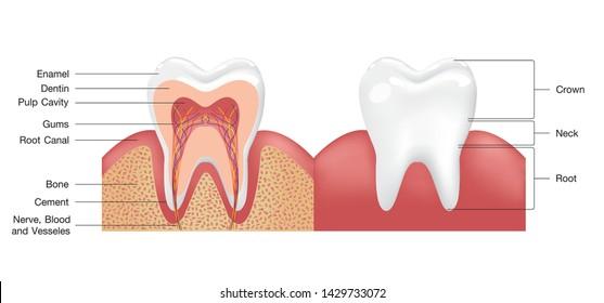 Pulp Teeth Images, Stock Photos & Vectors | Shutterstock