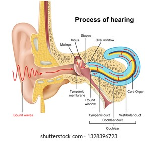 Hearing process, ear anatomy 3d vector illustration on white background