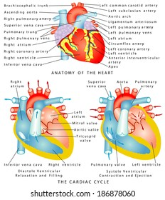 Heart. Anatomy of the Heart. The Cardiac Cycle. Diastole Ventricular Relaxation and Filling. Systole Ventricular Contraction and Ejection