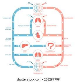 heart anatomy, circulatory system, human blood artery, medical illustration