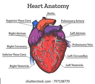 Human heart anatomy vector diagram stock vector 447796618 shutterstock heart anatomy colored sketch anatomic human cardiac muscle diagram vector illustration ccuart Image collections