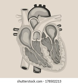 HEART ANATOMY cross section