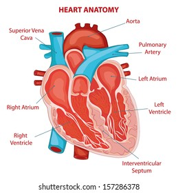 HEART ANATOMY cross section diagram
