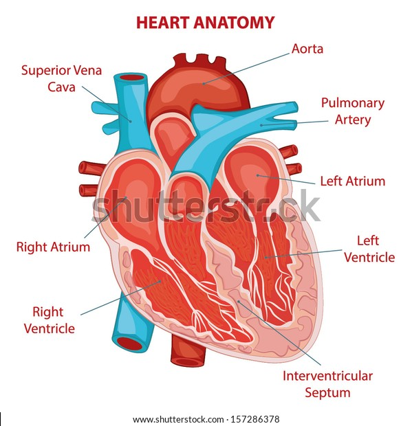 heart anatomy cross section diagram stock vector (royalty free Map of Cross