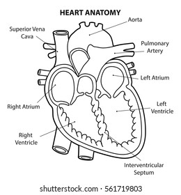 Diagram of the human heart images stock photos vectors shutterstock heart anatomy cross section outline vector ccuart Image collections