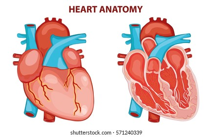 HEART ANATOMY Cross Section Diagram Stock Vector (Royalty Free ...