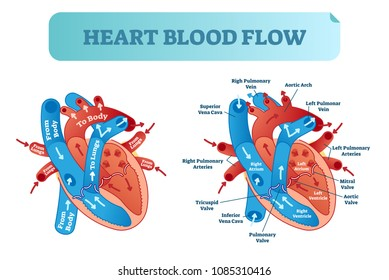 Heart blood flow anatomical diagram with atrium and ventricle system. Vector illustration labeled medical poster. Blood circulation path scheme with arrows.