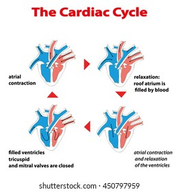 Heart cycle. Cardiac cycle of heart on white isolated. Cardiac circle info graphic. Cycle of heart valves operation.