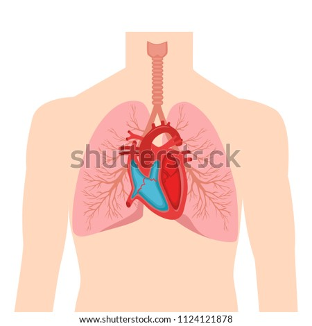 Heart Lungs Internal Organs Male Human Stock Vector Royalty Free