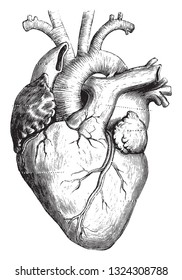 The heart of man, vintage engraved illustration. Zoology Elements from Paul Gervais.