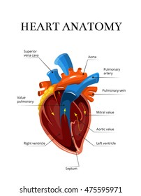 Heart sectional anatomy vector cardiological illustration. Medical banner for study of human heart