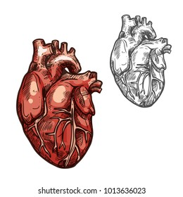 Heart sketch icons of human organ. Vector isolated heart ventricle and blood vessels vital organ of cardiovascular system for medical design or surgery and body medicine symbols