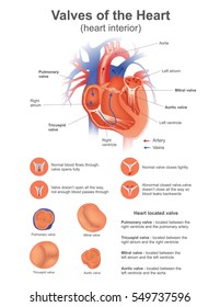 A heart valve opens or closes incumbent on differential blood pressure on each side. Vector, Illustration design.