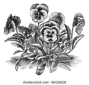 Heartsease or Viola tricolor or Johnny Jump Up or Wild Pansy, vintage engraving. Old engraved illustration of Heartsease. Trousset encyclopedia (1886 - 1891).