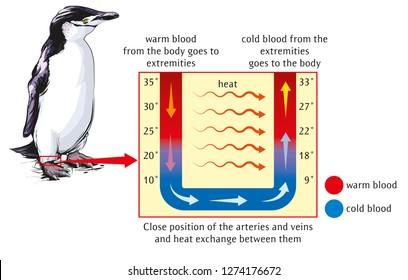 Heat exchange between body and extremities (Chinstrap penguin)