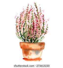 Heather bush in a pot. Flower in a pot painted with watercolors on white background. Vector drawing paint