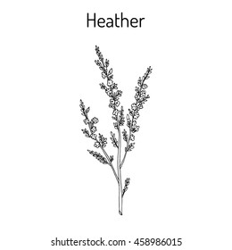 Heather (calluna vulgaris) branch with leaves and flowers - medicinal and honey plant. Hand drawn botanical vector illustration