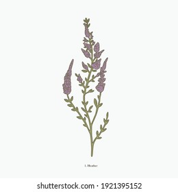 heather hand drawn vintage botanical vector illustration. Isolated scientific plant illustration isolated on white background. Graphic design resources