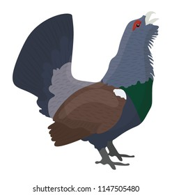 Heavy feathered bird in blue color and small feet, western capercaillie