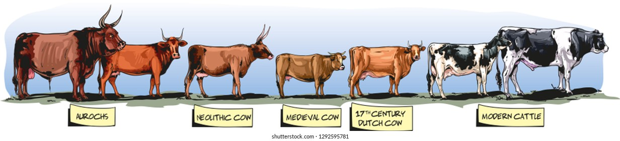 Height of cattle through time.