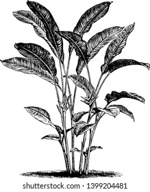 Heliconia bihai of the Heliconiaceae family is an erect herb typically growing taller than 1.5 m. the flower are red and orange, vintage line drawing or engraving illustration.