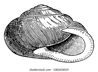 Helix Albolabris is a species of air breathing land snail a terrestrial pulmonate gastropod mollusk in the family Polygyridae, vintage line drawing or engraving illustration.