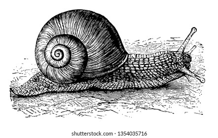 Helix Pomatia is a species of large edible air breathing land snail a terrestrial pulmonate gastropod mollusk in the family Helicidae vintage line drawing or engraving illustration.