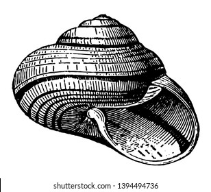 Helix Stuartia which the shell of the genus Helix assumes vintage line drawing or engraving illustration.