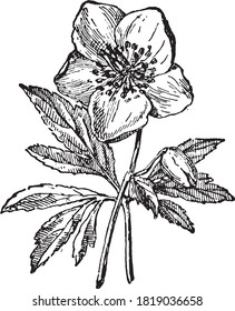 Hellebore flower, From the Dictionary of Word and Things, 1888.
