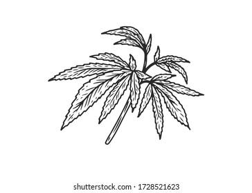 Hemp, cannabis hand drawn sketch vector engraving illustration.