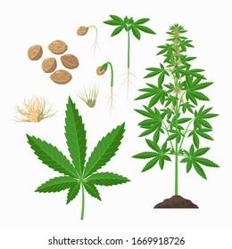 Hemp plant, seeds, leaves, stem, flowering plant, growing infographic elements. Cannabis sativa set of botanical illustrations, drawings in flat design.